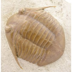 Asaphus (Subasaphus) platyurus