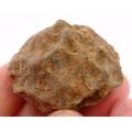 Heliocrinites sp.