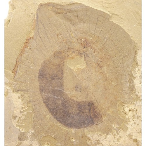 Eldonia eumorpha