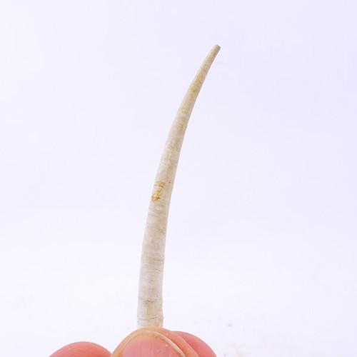 Dentalium (Antalis) vulgare