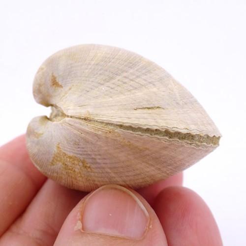 Glycymeris (Glycymeris) insubrica