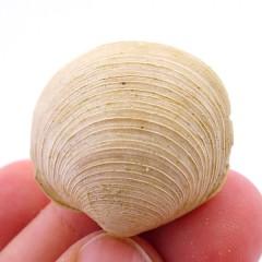 Dosinia (Pentuculus) orbicularis