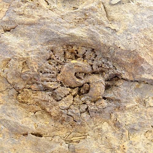 Pleurodictyum problematicum and Hicetes sp.