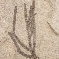 Brachyphyllum sp.