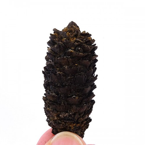 Picea sp.