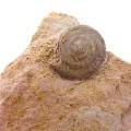 Orbonella sp.