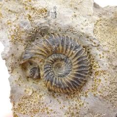 Polyplectites (Cadomites) sp.