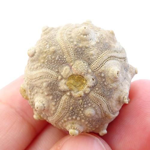 Pseudocidaris mammosa