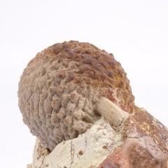 Araucaria mirabilis