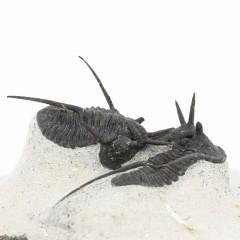 Cyphaspis walteri