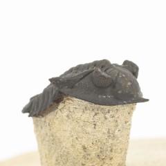 Minicryphaeus quaterspinosus