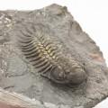 Paralejurus brongniarti