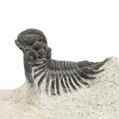 Acanthopyge (Belenopyge) estevei
