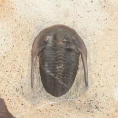Aulacopleura sp.