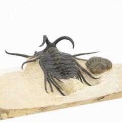 Dicranurus monstrosus and Reedops maurulus