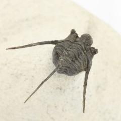 Cyphaspis eberhardiei