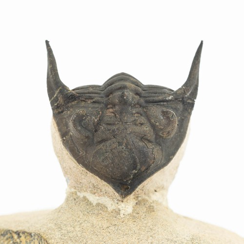 Metacanthina issoumourensis