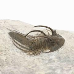 Kolihapeltis rabatensis