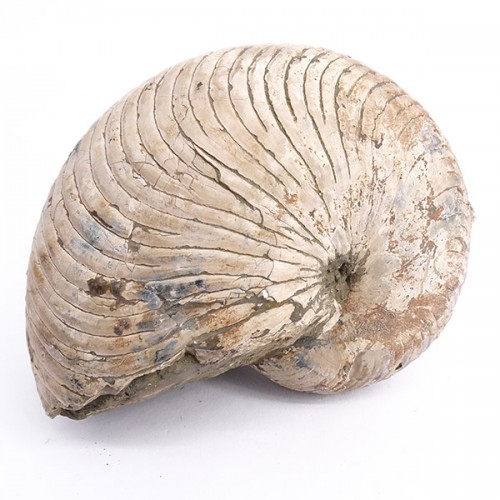 Cymatoceras sakalavus