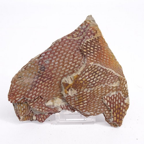 Araneograptus murrayi