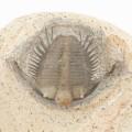 Cyphaspides nicoleae n. sp.