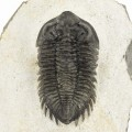 Coltraneia oufatenensis