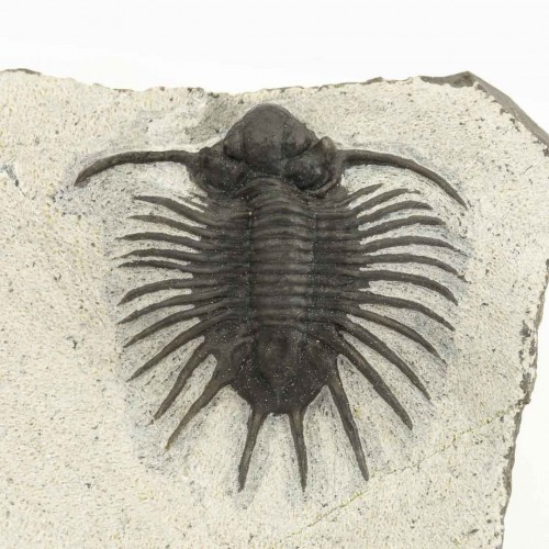 Acanthopyge sp.