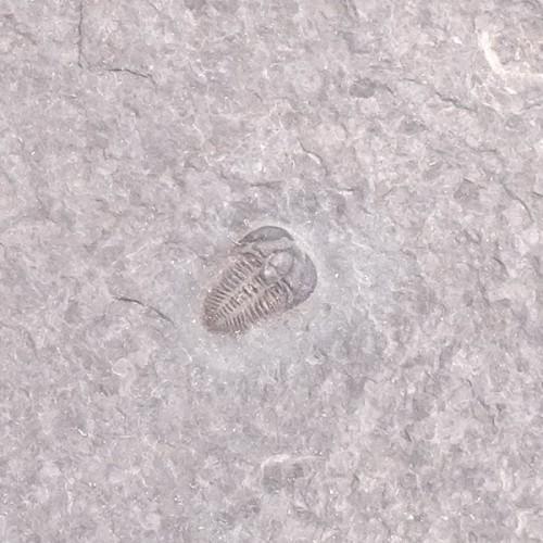 Brachyaspidion microps
