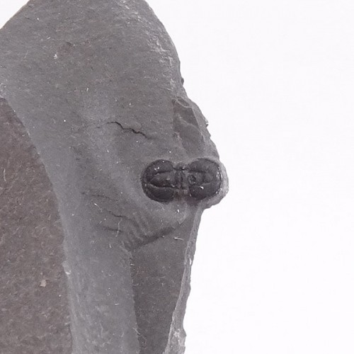Peronopsis interstricta