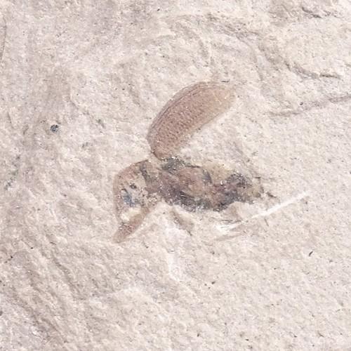 O. Coleoptera