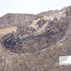 Discosauriscus pulcherrimus