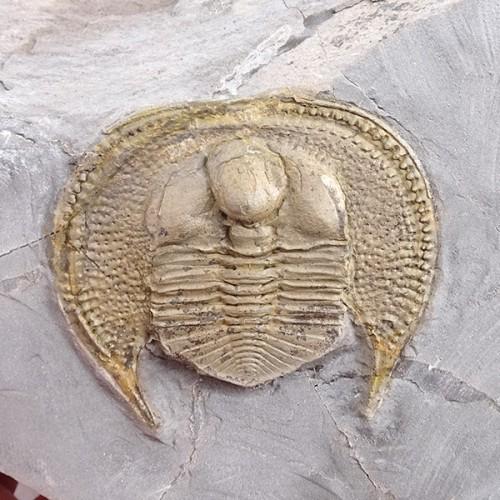 Declivolithus titan