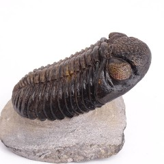 Drotops megalomanicus