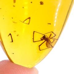 O. Araneae