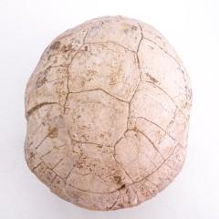 Kansuchelys ovalis