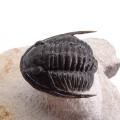 Cornuproetus cornutus
