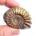 Pleuroceras spinatum