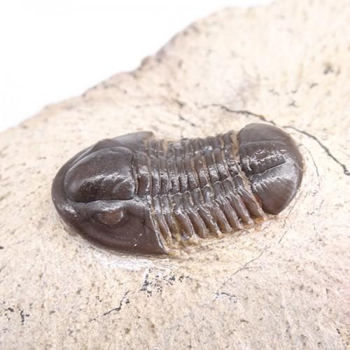 Piriproetus sp.
