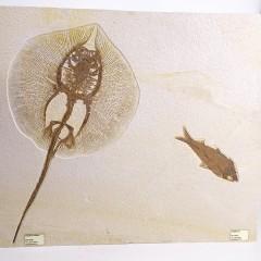 Heliobatis radians and Knightia sp.