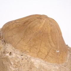 Clypeaster crassicostatus