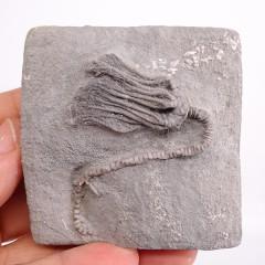 Platycrinites brevinodus