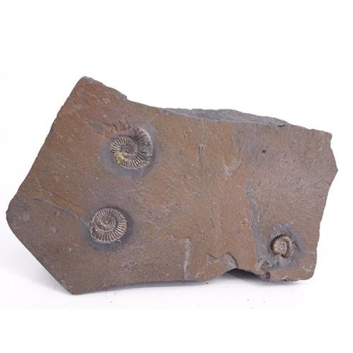 Polimorphites bronni