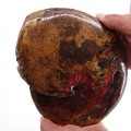 Sphenodiscus splendens