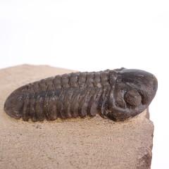 Reedops cephalotes hamlagdadianus