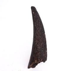 Duboisia sp.