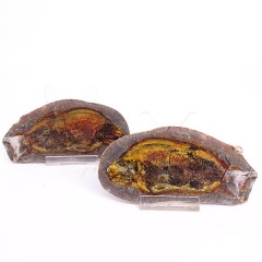 Paracentophorus madagascariensis