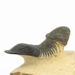Paralejurus spatuliformis