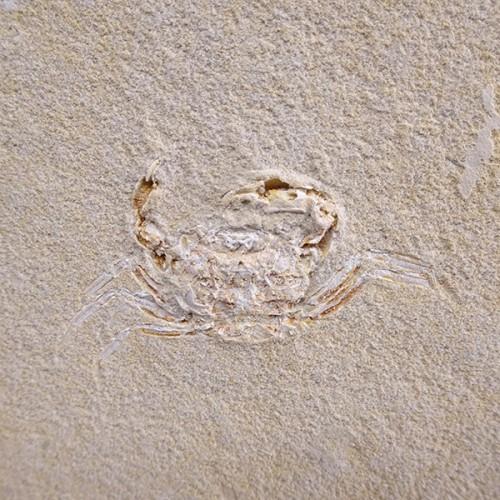 Marocarcinus sp.