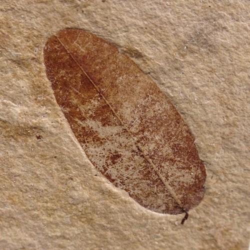 Calpurnia europaea