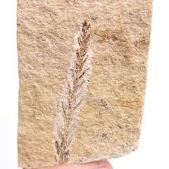 Taxodium sp.